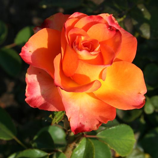 фото саженцы роз сорта High Orange. Хай Оранж