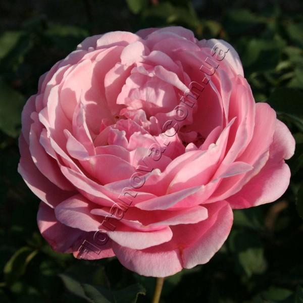 фото саженцы розы Дитер Мюллер