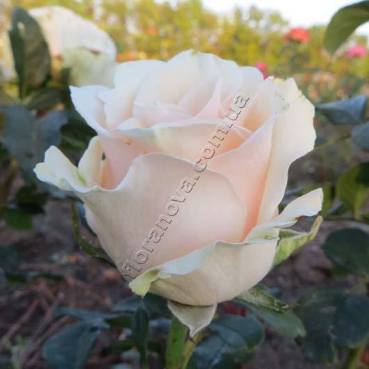 фото сорт розы Talea. Талея