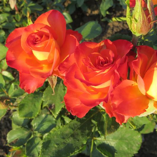 Роза тукан описание фото
