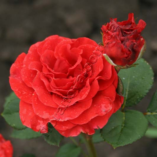 эль торо роза фото и описание