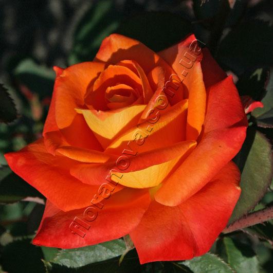 Роза Миракл