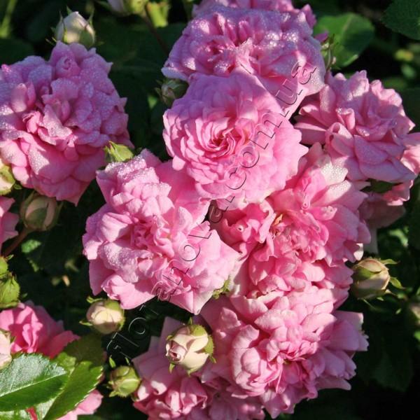 фото розы сорта Super Dorothy. Супер Дороти