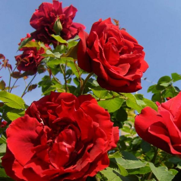 Фото розы сорта Santana. Сантана