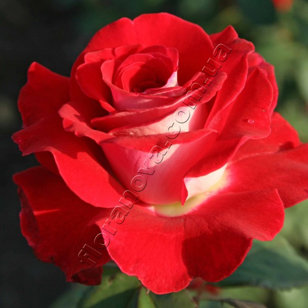 Фото чайно-гибридной розы сорта Латин Леди  Latin Lady