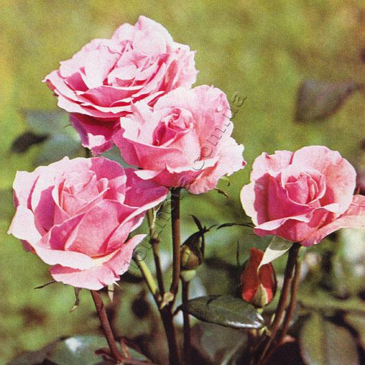 фото роз Queen Elizabeth, Куин Элизабет
