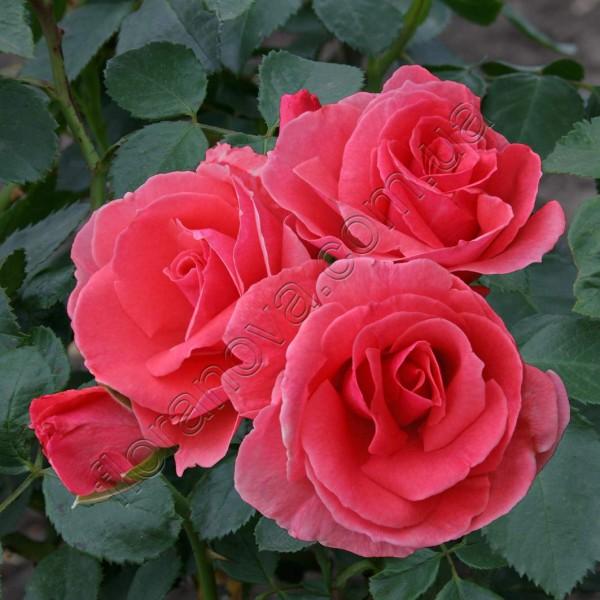 Роза лавиния плетистая отзывы