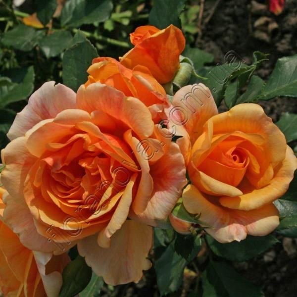 фото сорт розы Michka Мишка
