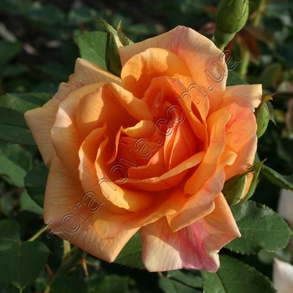 Роза солнышко описание фото