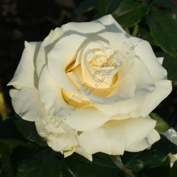Фото розы Mondiale. Мондиаль