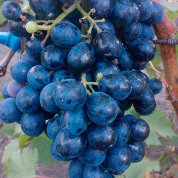фото винограда Чёрный Изумруд. Блек Эмеральд.