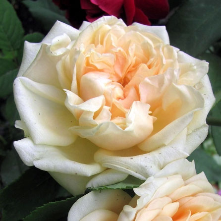 фото розы Morabito. Морабито