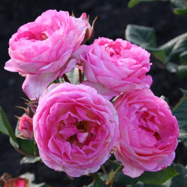фото розы Mme de Stael. Мадам де Сталь