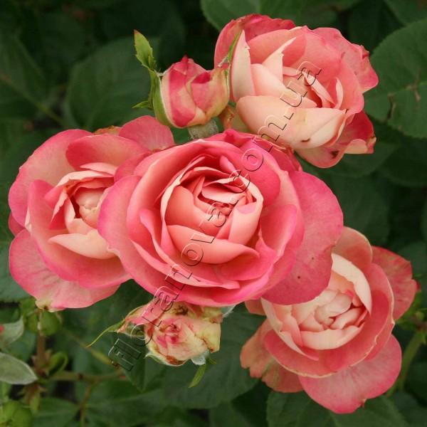 Акрополис роза отзывы
