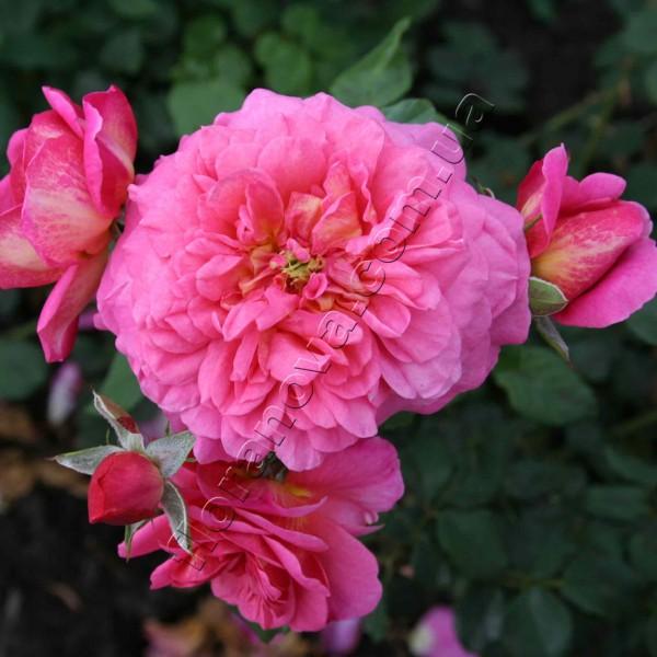 Роза кристофер марлоу