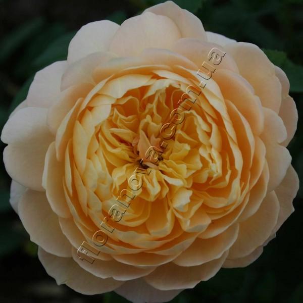 фото розы Charles Darwin. Чарльз Дарвин