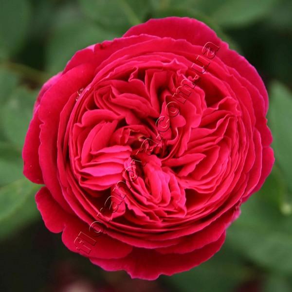 фото розы Falstaff. Фальстаф