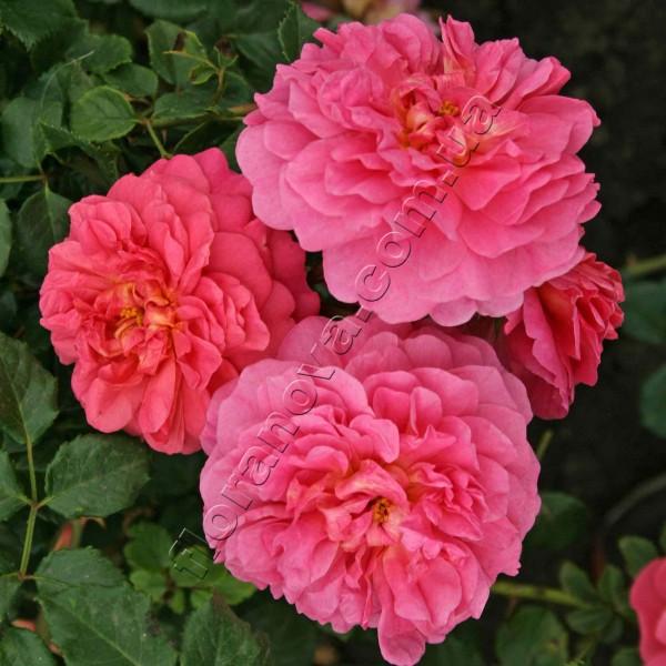 Роза кристофер марлоу.
