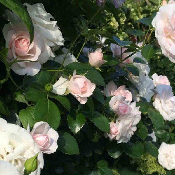 фото роз Aspirin Rose