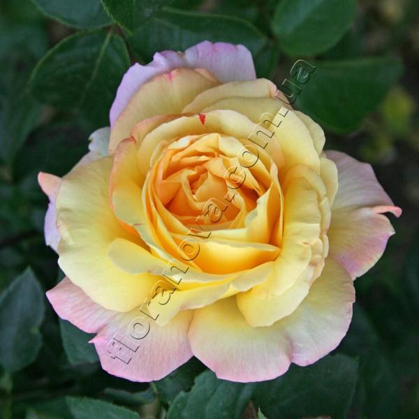 Фото чайногибридной розы сорта  Глория Дей Gloria Dei