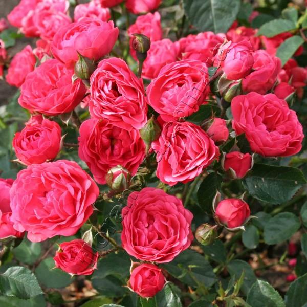 фото сорт розы Orange Triumph, Ориндж Триумф