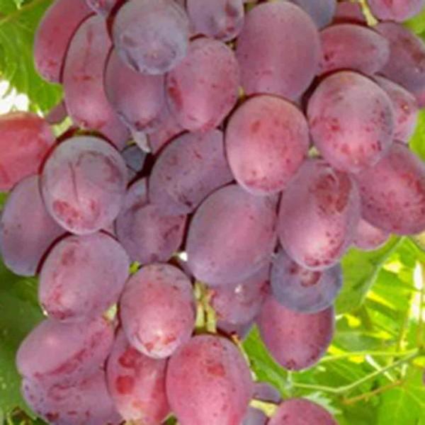 фото винограда Ксения