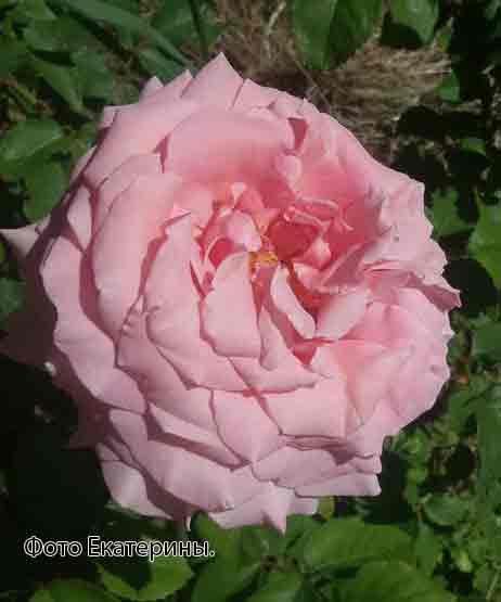 фото розы Frederic Mistral. Фредерик Мистраль