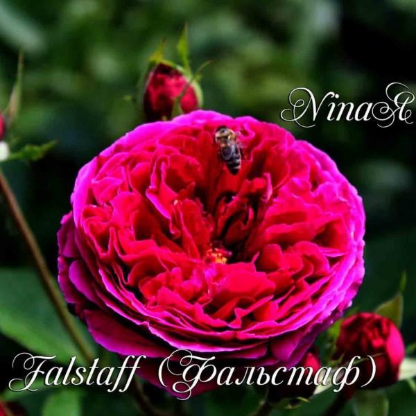 фото розы Фальстаф