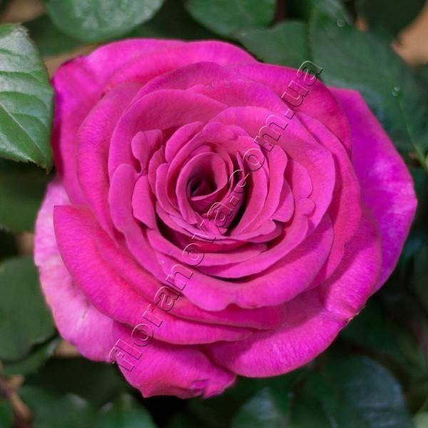 фото розы Parole. Пароле