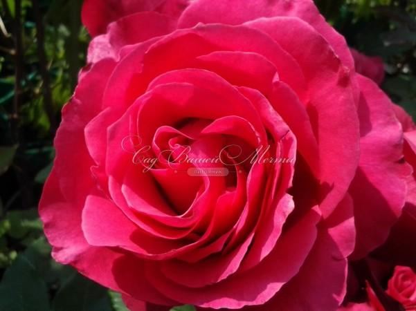 фото розы Chopin. Шопен