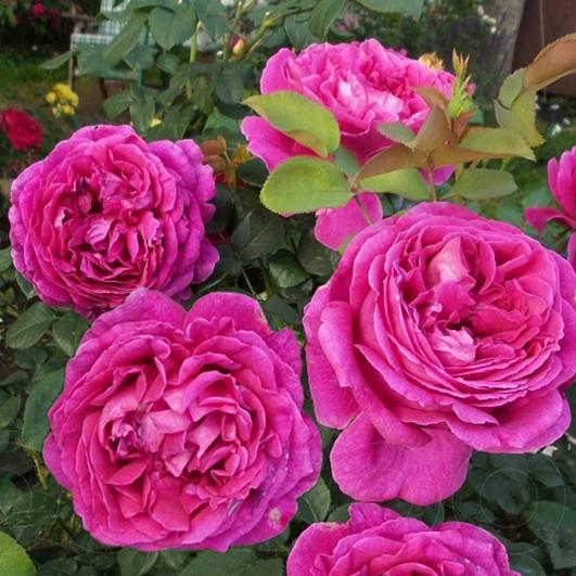 фото розы Othello. Отелло