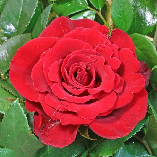 Фото розы Sexy Red. Секси Ред