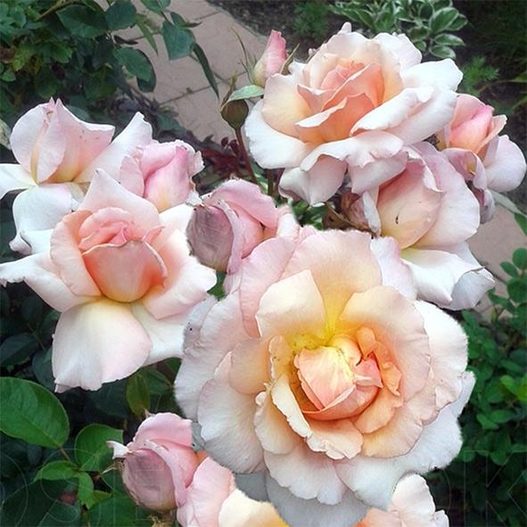Фото розы Compassion. Компэйшин