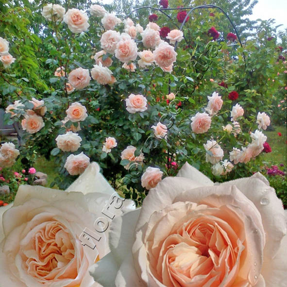 фото саженцы роз сорта Penny Lane. Пенни Лайн