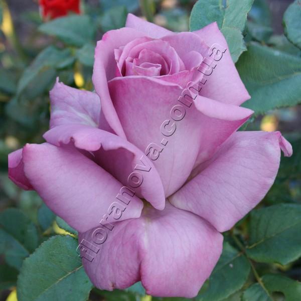 Фото розы Blue Nile. Блу Нил