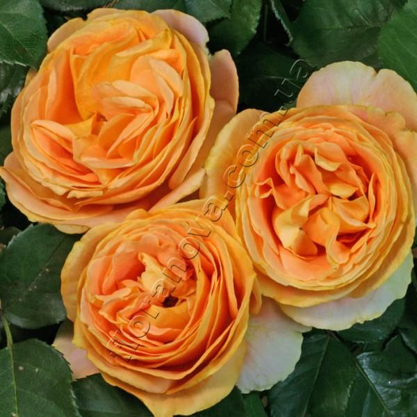 Фото розы сорта Candlelight. Кэндллайт