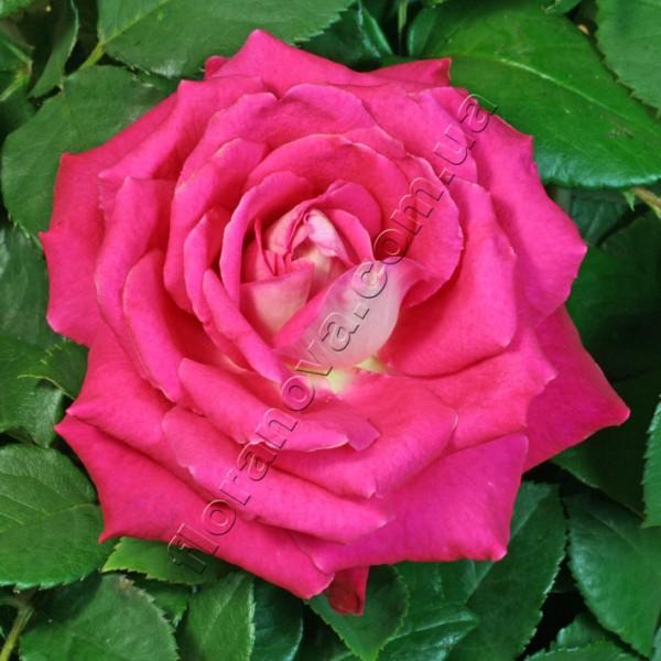 rose acapella tantau