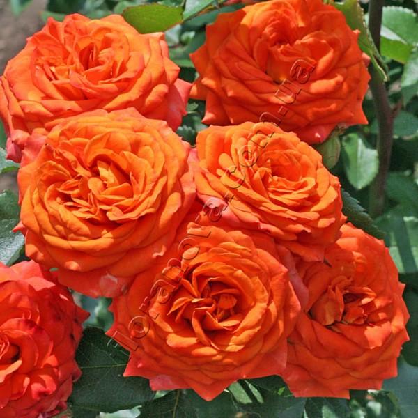 фото сорт розы Апельсин