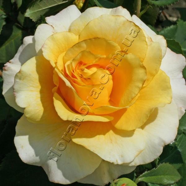 фото розы сорта Sunny Sky. Санни Скай