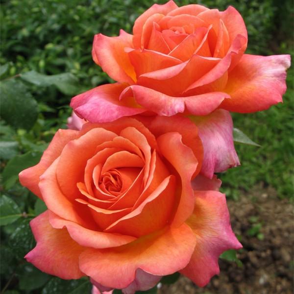 фото розы Rene Goscinny. Рене Госинни