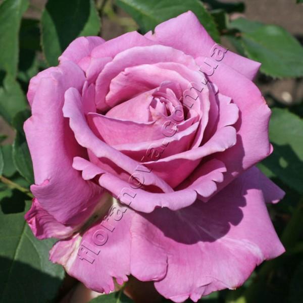 Фото сорт розы Blue Parfum. Блю Парфюм.
