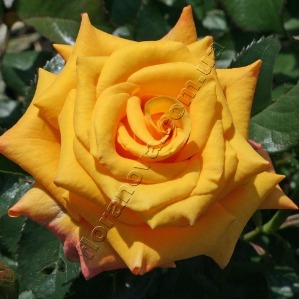 фото чайно-гибридной розы сорта Конго  Kongo