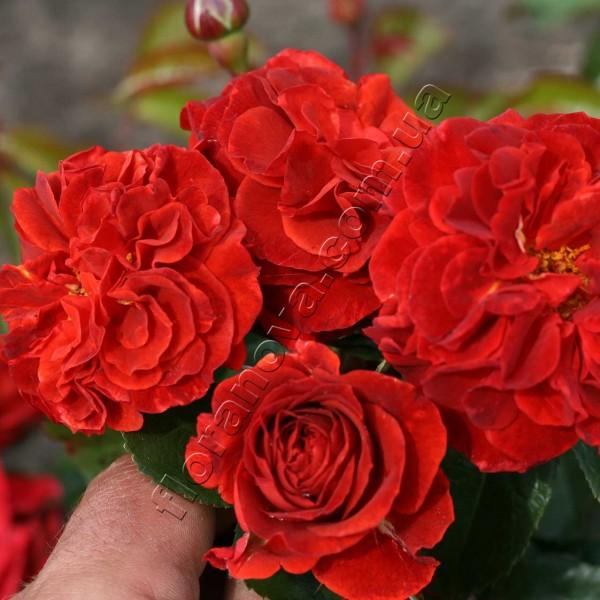 фото розы Brown Velvet. Браун Вельвет