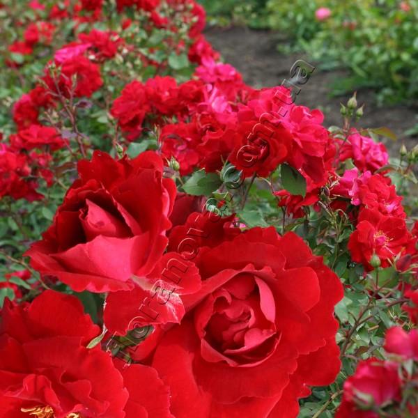 фото канадской розы сорта Champlain, Шамплейн