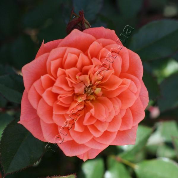 фото миниатюргой розы Ninetta. Нинетта