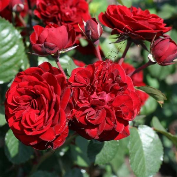 фото розы сорта Cordula. Кордула