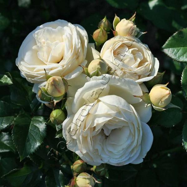 фото розы Artemis. Артемис
