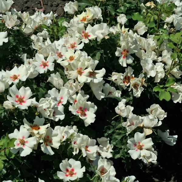 фото розы сорта Крем Бэбилон Айс. Cream Babylon Eyes.
