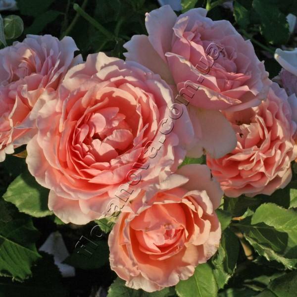 фото розы Louise de Marillac. Луизы де Марийяк