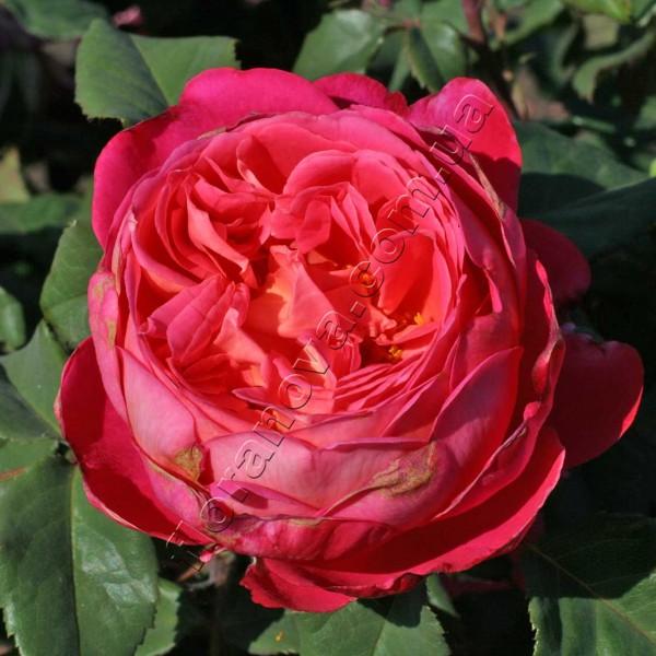 фото роз Portlandia. Портландия